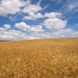 Wheat field on a sunny day - Stock Photo