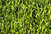 Wheat or barley leaves — Stock Photo