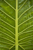 Big grean leaf with veins — Stock Photo
