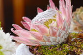 Big blooming protea flower — Stock Photo