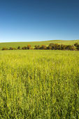 Buğday alan mavi gökyüzü ile — Stok fotoğraf