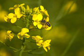 Canola flowers with bee — Stock Photo