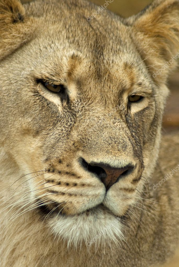 A single female lion in the wild looking sleepy  Stock Photo #2320936