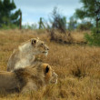Royalty-Free Stock Photo: Lions looking intently