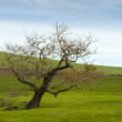 Barren tree in grass meadow — Stock Photo