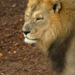 Male lion looking intently — Stock Photo