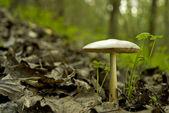 Wild mushroom in woods — Stock Photo