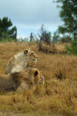 Lions looking intently — Stock Photo