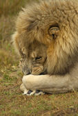 Male lion lying down — Stock Photo