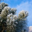 Stock Photo: Snow-clad branch of pine on blue sky