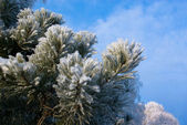 Snow-clad branch of pine on blue sky — Stock Photo