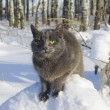 Stock Photo: RussiBlue cat