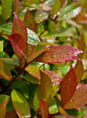 Water drops on red en green leaves — Stock Photo