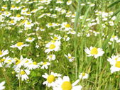 Chamomile, Matricaria chamomilla — Stock Photo
