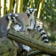Ring-tailed Lemur — Stock Photo #2164474