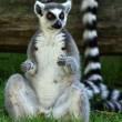 Ring-tailed Lemur — Stock fotografie