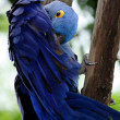 Royalty-Free Stock Photo: Blue Hyacinth Macaw