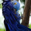 Blue Hyacinth Macaw — Stock Photo