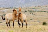 Przewalski horses — Stock Photo