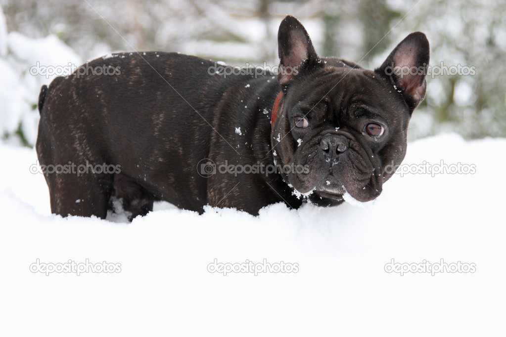 A cute little black and white French bull dog standing in the snow and watching  Stock Photo #2160943