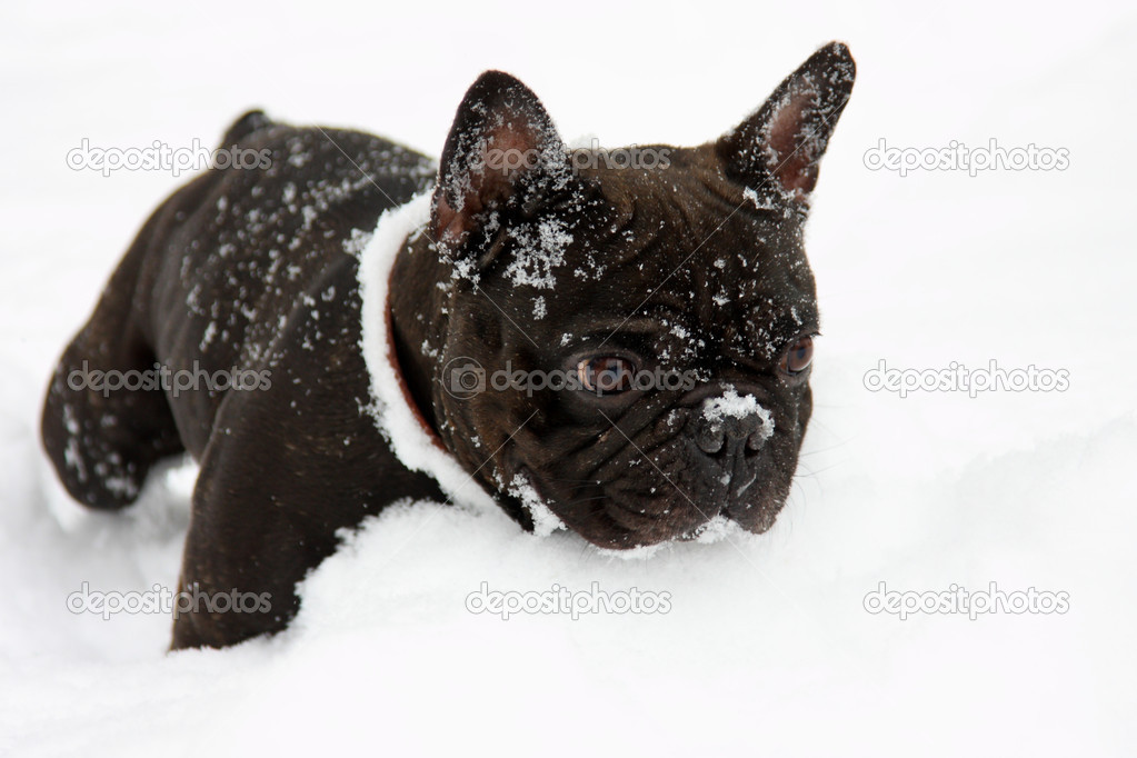 And White French Bull Dog