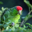 Red-crowned Amazon — Stock Photo