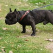 French bulldog — Stock Photo #2174299