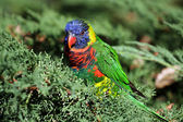 Rainbow Lorikeet — Stockfoto