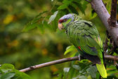 Lilac-crowned Amazon parrot — Stock Photo