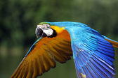 Macaw parrot in flight — Stock Photo