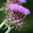 Stock Photo: Purple cardoon flowers
