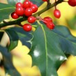 Stock Photo: Ilex aquifolium,holly