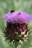 Purple cardoon flower — Stock Photo