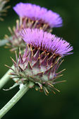 Purple cardoon flowers — Stock Photo