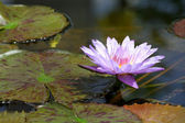 Purple water lily flower — Stock Photo