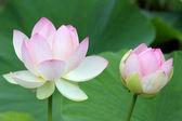 Sacred Lotus flowers — Stock Photo