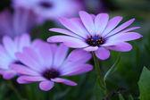 Purple Osteospermum — Stock Photo
