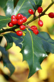 Ilex aquifolium,holly — Stock Photo