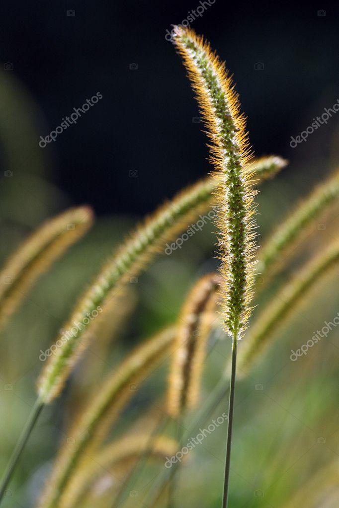 hirse gras pflanzen im sonnenlicht stockfoto 2193870. Black Bedroom Furniture Sets. Home Design Ideas