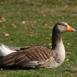Greylag goose — Stock Photo #2204914