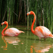 Greater Flamingo — Stock Photo #2205132