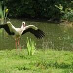 White stork — Stock Photo #2205156