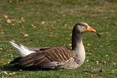 Greylag goose — Stock Photo