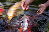 Koi carps swimming in the Pond — Stock Photo