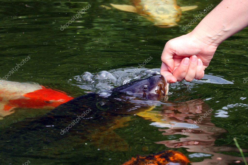Koi carps swimming in the pond stock photo loflo69 for Koi swimming