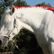 French percheron — Stock Photo