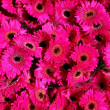Pink gerbera background — Stock Photo