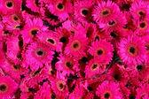 розовые герберы фон — Стоковое фото