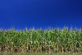 Corn and cloudless sky — Stock Photo