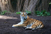 Panthera tigris — Stock Photo